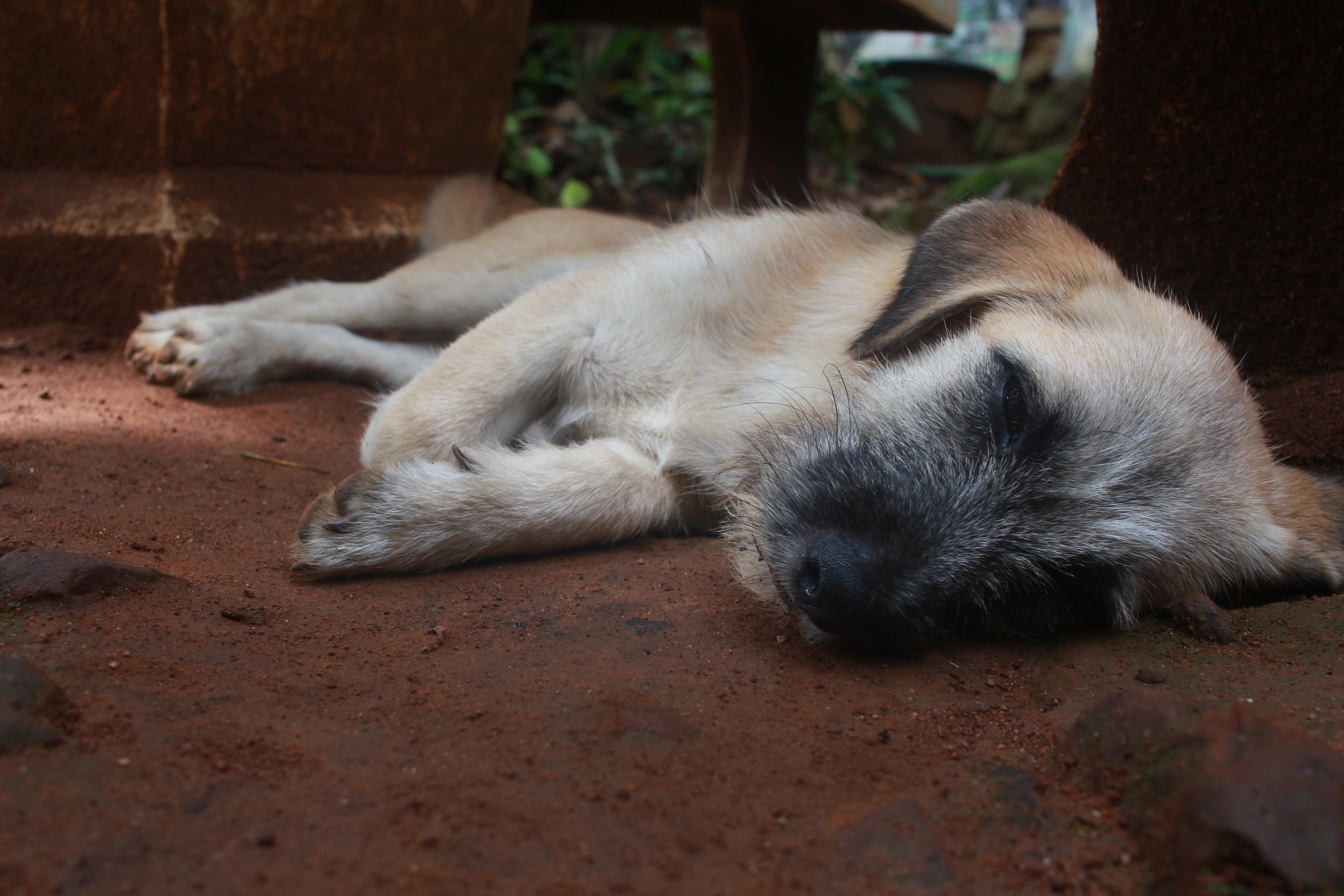 dog-thailand